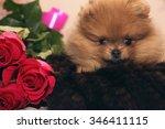 Funny Pomeranian Spitz Puppy....