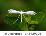 Small photo of Butterfly Alucita petadactyla