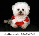 Stock photo a beautiful pure breed bichon frise dog wears her red and white christmas holiday necklace complete 346452278