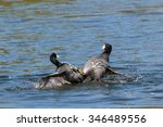 Two American Coots Fighting...