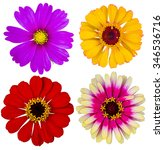 set zinnia flower isolated on... | Shutterstock . vector #346536716