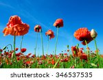 field of corn poppy flowers   | Shutterstock . vector #346537535