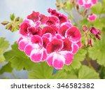 pink geranium flower of... | Shutterstock . vector #346582382