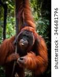 Small photo of Alpha Male Orangutan hanging on a tree in the jungle, Kalimantan, Borneo, Tanjung Puting, Indonesia