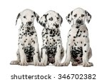 Three Dalmatian Puppies Sittin...