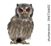 Stock photo northern white faced owl ptilopsis leucotis year old in front of a white background 346716602