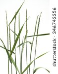 Small photo of Couch grass; Agropyron repens