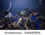 Silver Dollar Fish Mangrove....