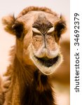 A Camel Seems To Be Smiling In...