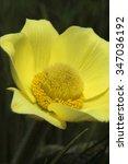 Small photo of Pulsatilla / forest primrose/ alpine anemone flower macro growing in Alps