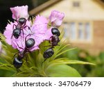 Bouquet Of Garden Ants On...