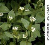 Small photo of Chickweed; Stellaria; media