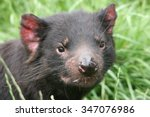 Tasmanian Devil Taken In North...