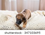 purebred puppy playing | Shutterstock . vector #347103695