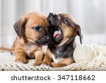 Stock photo two cute dachshund puppy playing 347118662