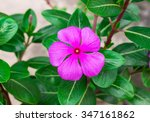 Beautiful Pink Vinca Flowers ...