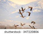 Flock Of Geese Flying With Sno...
