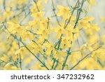 Closeup Of Yellow Forsythia...
