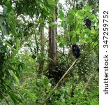 Small photo of Black howler monkey (Alouatta caraya) sitting on tree in a tropical forest, Costa Rica