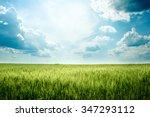 Green Rye In Field On A Sunny...