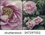 vintage peony | Shutterstock . vector #347297552