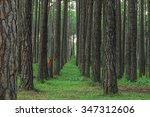 Small photo of Competition of pine trees To sunlight necessary to sustain life.