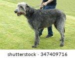 Irish Wolfhound  Greyhound
