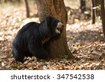 Sloth Bear Sloth Bear India