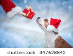 Stock photo american staffordshire terrier dog with a christmas hat taking a present from santa s hand 347628842