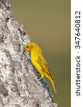 Small photo of A male Saffron Finch (Sicalis flaveola) perched on a tree trunk feeding on grain, against a blurred background, Pantanal, Brazil