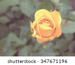 Stock photo beautiful rose shallow depth of field vintage filter effect 347671196