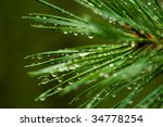 Pine Needle With Big Dewdrops...