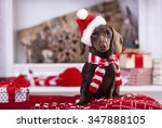Stock photo christmas wreath on neck dachshund puppy 347888105