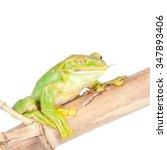 giant feae flying tree frog... | Shutterstock . vector #347893406