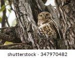 african barred owlet in kruger... | Shutterstock . vector #347970482