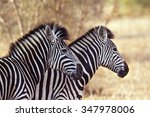 Burchell's Zebra In Kruger...