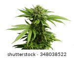 Big Leafy Cannabis Plant With...
