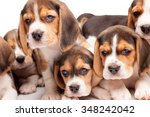 Stock photo beagle puppy lying on the white background among other sleeping puppies 348242042