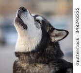 Photo Of Barking Fluffy Husky...