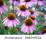 Echinacea Purpurea Or Purple...