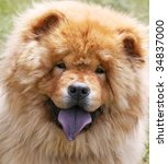 chow dog - stock photo