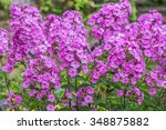 Phlox Paniculata  Garden Phlox...