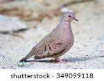 The Common Ground Dove