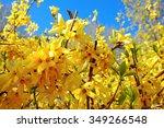 Forsythia(Golden bell flowers) in spring at Tikkurila park , Finland