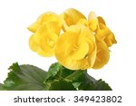 Closeup Of Yellow Begonia...