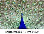 Colorful Peacock. - stock photo