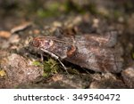 Small photo of Acrobasis advenella, a micro moth in the family Pyralidae