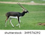 Blackbuck  Antilope Cervicapra...