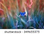 Little Blue Butterfly In The...