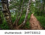 Path Through The Birch Trees